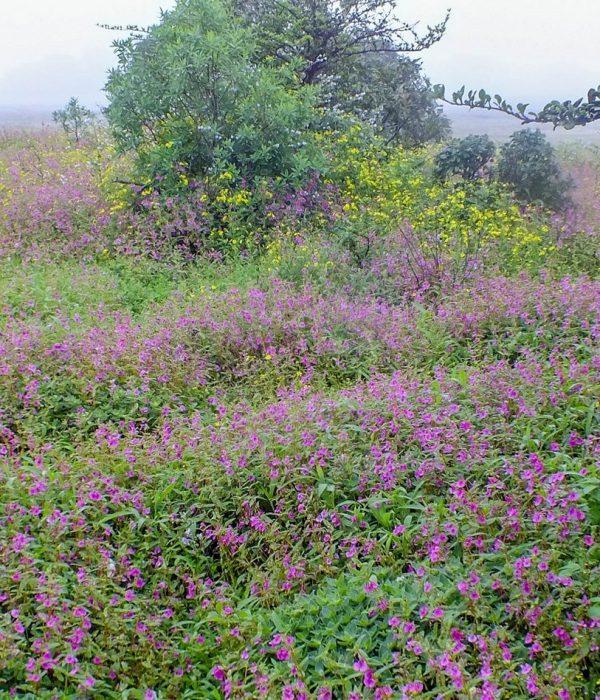 Kaas Plateau : Valley of Flowers